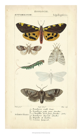 Antique Butterfly Study I Giclee Print by  Turpin
