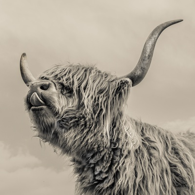 Highland Cattle Photographic Print by Mark Gemmell