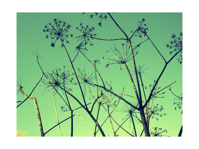 Cow Parsley I Prints by Lillian Bell
