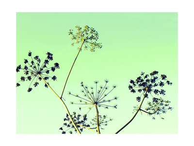 Cow Parsley II Print by Lillian Bell