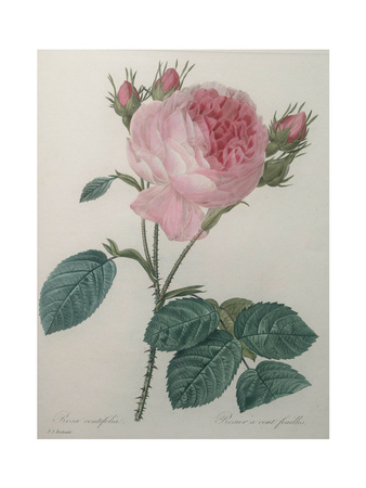 Provence or Cabbage Rose Poster by Pierre-Joseph Redoute
