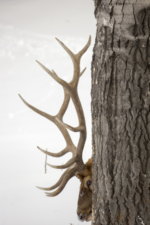 A Bull Elk, Cervus Elaphus, with Six Points on Each Side of His Antlers, Indicating Full Maturity 写真プリント : ロビー・ジョージ
