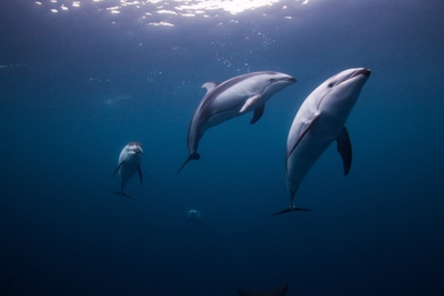 Pacific White Sided Dolphins, Lagenorhynchus Obliquidens, Swim Underwater Near British Columbia Photographic Print by Paul Nicklen