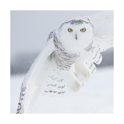 Owl in Flight I Print by  PHBurchett