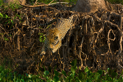 A Wild Jaguar Leaps into the Cuiaba River after Prey Photographic Print by Steve Winter