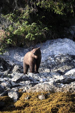 A Grizzly Bear, Ursus Arctos, Foraging on a Rocky Shore Photographic Print by Jeff Wildermuth