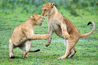 African Lion (Panthera Leo) Playing with its Young, Ndutu, Ngorongoro Conservation Area, Tanzania Photographic Print by Green Light Collection