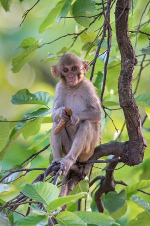 Rhesus Macaque (Macaca Mulatta), Bandhavgarh National Park, Umaria District, Madhya Pradesh, India Photographic Print by Green Light Collection