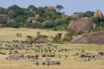 Zebras and Wildebeests (Connochaetes Taurinus) During Migration, Serengeti National Park, Tanzania Photographic Print by Green Light Collection
