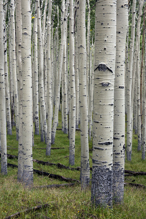 Aspen Trees Along the Inner Basin Trail in the Coconino National Forest Photographic Print by Scott Warren