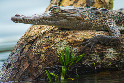 American Crocodile (Crocodylus Acutus) on Tree, Tortuguero, Costa Rica Photographic Print by Green Light Collection