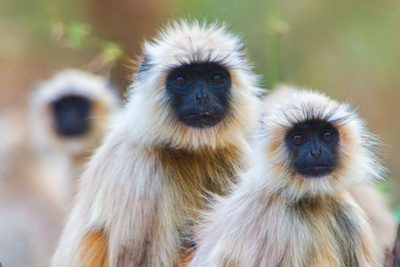 Gray Langur Monkeys, Kanha National Park, Madhya Pradesh, India Photographic Print by Green Light Collection