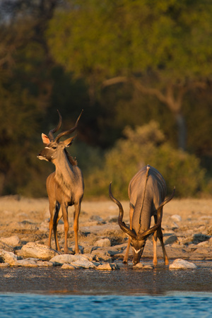 Greater Kudus (Tragelaphus Strepsiceros) Drinking Water, Etosha National Park, Namibia Photographic Print by Green Light Collection