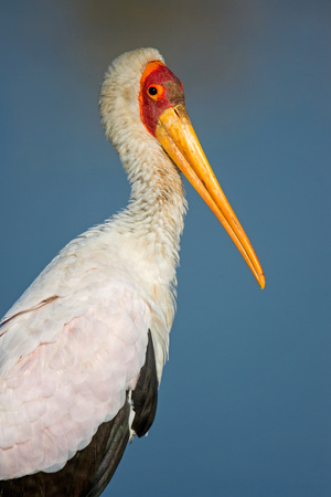 Close-Up of Yellow-Billed Stork (Mycteria Ibis), Lake Manyara, Tanzania Photographic Print by Green Light Collection
