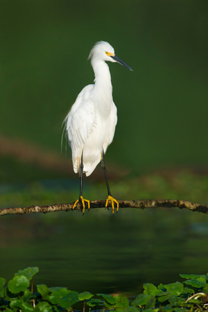 Snowy Egret (Egretta Thula), Tortuguero, Costa Rica Photographic Print by Green Light Collection