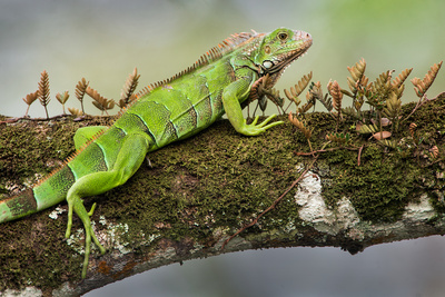 Green Iguana (Iguana Iguana), Tarcoles River, Pacific Coast, Costa Rica Photographic Print by Green Light Collection