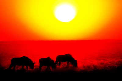 Wildebeests Grazing in a Field at Sunset, Etosha National Park, Namibia Photographic Print by Green Light Collection