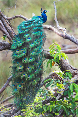 Peacock Perching on a Branch, Kanha National Park, Madhya Pradesh, India Fotografisk tryk af Green Light Collection