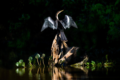 Anhinga (Anhinga Anhinga), Pantanal Wetlands, Brazil Photographic Print by Green Light Collection