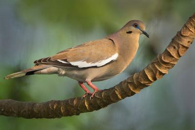 White-Winged Dove (Zenaida Asiatica), Tarcoles River, Pacific Coast, Costa Rica Photographic Print by Green Light Collection