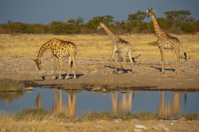 Southern Giraffes (Giraffa Camelopardalis) at Waterhole, Etosha National Park, Namibia Photographic Print by Green Light Collection