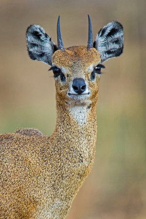 Close-Up of Klipspringer (Oreotragus Oreotragus), Serengeti National Park, Tanzania Photographic Print by Green Light Collection