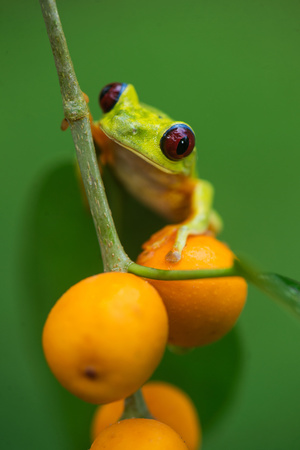 Red-Eyed Tree Frog (Agalychnis Callidryas), Tarcoles River, Pacific Coast, Costa Rica Photographic Print by Green Light Collection
