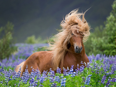 Horse Running by Lupines. Purebred Icelandic Horse in the Summertime with Blooming Lupines, Iceland Photographic Print by Green Light Collection