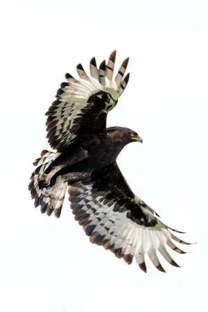 Long-Crested Eagle (Lophaetus Occipitalis) in Flight, Ndutu, Ngorongoro Conservation Area, Tanzania Photographic Print by Green Light Collection