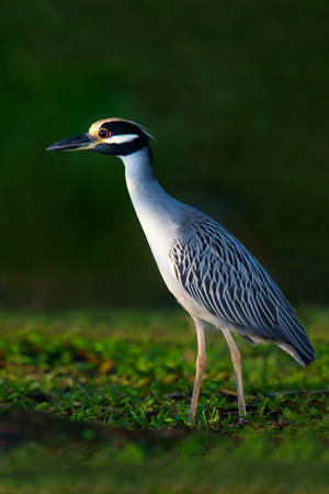 Yellow-Crowned Night Heron (Nyctanassa Violacea), Tortuguero, Costa Rica Photographic Print by Panoramic Images