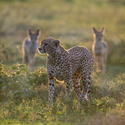 Cheetah (Acinonyx Jubatus) and Jackals in Forest, Ndutu, Ngorongoro Conservation Area, Tanzania Photographic Print by Green Light Collection