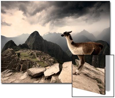 A Llama Overlooks the Pre-Columbian Inca Ruins of Machu Picchu Affischer av Jim Richardson