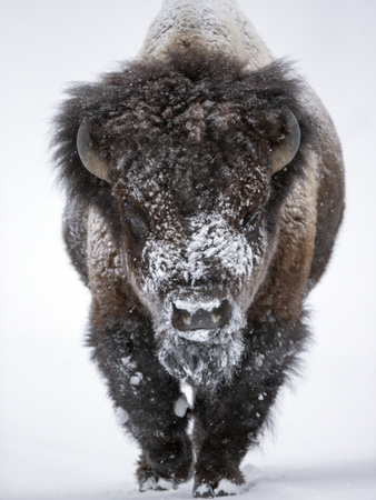 Portrait of an Snow-Dusted American Bison, Bison Bison Kunst på metal af Robbie George