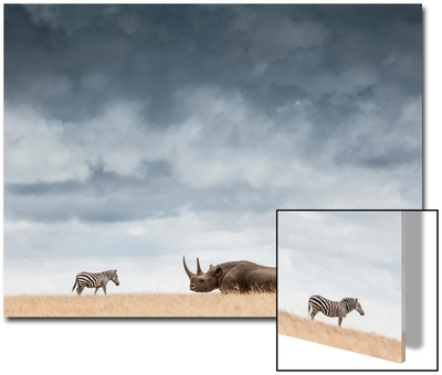 A Black Rhinoceros in Solio Rhino Sanctuary Bookended by Two Plains Zebras Posters by Robin Moore