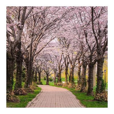 Cherry Blossom Trail Prints by Chuck Burdick