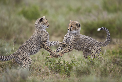 Cheetah (Acinonyx Jubatus) Cubs Playing, Serengeti National Park, Tanzania, East Africa, Africa Photographic Print by James Hager