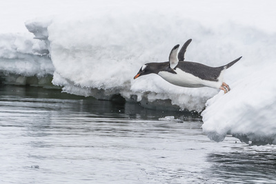 Gentoo Penguin (Pygoscelis Papua) Returning to the Sea to Feed at Dorian Bay, Antarctica Photographic Print by Michael Nolan