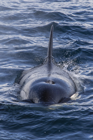 Adult Type a Killer Whale (Orcinus Orca) Surfacing in the Gerlache Strait, Antarctica Photographic Print by Michael Nolan
