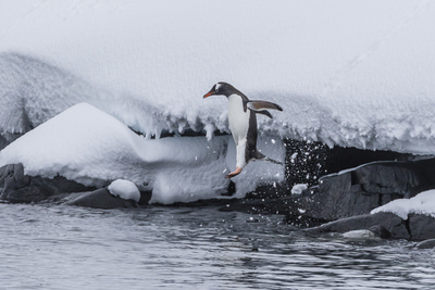 Gentoo Penguin (Pygoscelis Papua) Leaping into the Sea at Booth Island, Antarctica, Polar Regions Photographic Print by Michael Nolan
