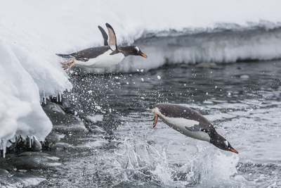 Gentoo Penguins (Pygoscelis Papua) Leaping into the Sea at Booth Island, Antarctica, Polar Regions Photographic Print by Michael Nolan