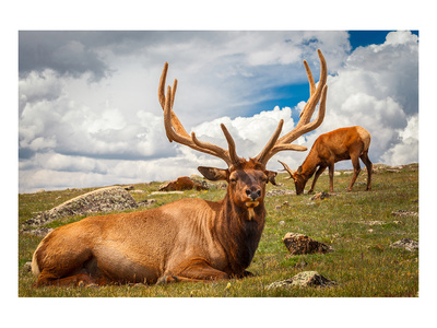 Elk Stag and Cow on a Meadow Prints