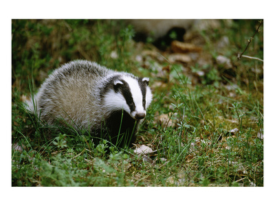 Badger in the Grass Prints