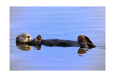 Sea Otter Relaxing Poster by  Lantern Press