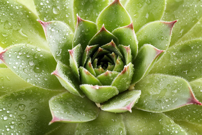 Beautiful Succulent Plant with Water Drops close Up Photographic Print by  Yastremska