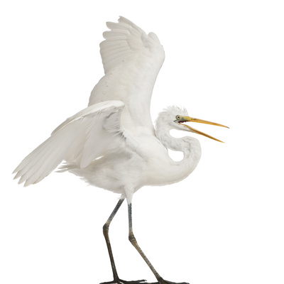 Great Egret or Great White Egret or Common Egret, Ardea Alba, Standing in Front of White Background Photographic Print by Life on White