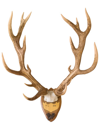 Antlers from a Huge Stag Mounted on Wood Board Photographic Print by Yue Lan