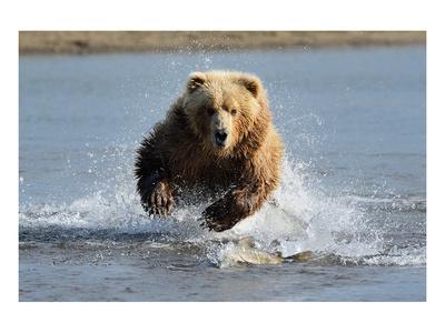 Grizzly Bear Jumping at Fish Prints
