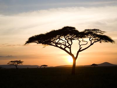 A Acacia Tree in the Serengetti Kunst på metal af Ben Horton