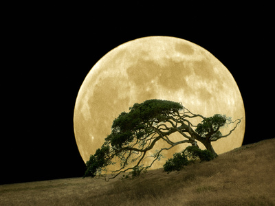 Windswept Live Oak Tree and Rising Full Moon at Night Metal Print by Diane Miller
