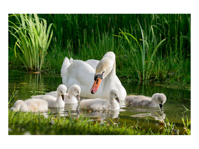 Swan and Its Babies in a Pond Posters